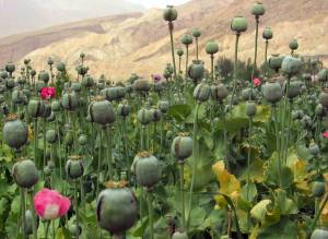 Afghanistan_opium