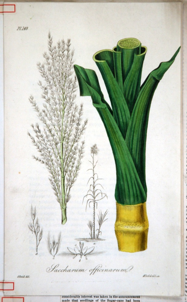 saccharum-officinarum.jpg
