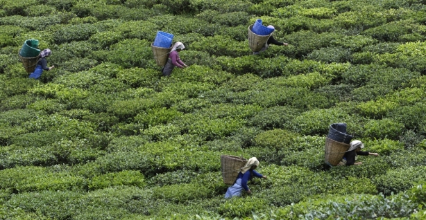 tea-plantation-slaves-indias-himalayan-mountains